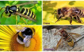 ما هو الفرق بين الزنبور ، النحل ، النحلة ، الدبور