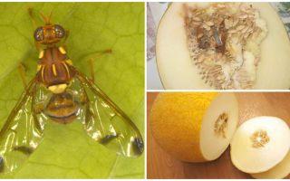 وصف ذبابة البطيخ وطرق التعامل معه
