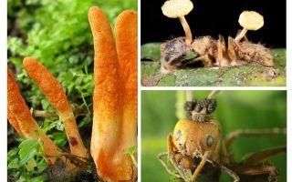 النمل غيبوبة