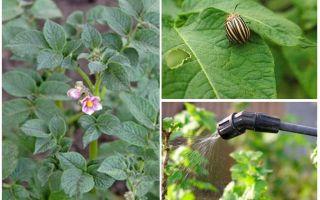 هل من الممكن معالجة البطاطس من خنافس كولورادو أثناء الإزهار