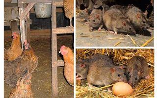 كيفية التعامل مع الجرذان في بيت الدجاجة