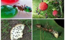 ما يأكل النمل في الطبيعة