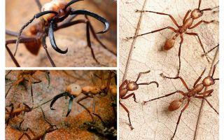 النمل الأكثر خطورة في العالم