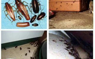 ماذا تظهر الصراصير في المنزل ، أوان
