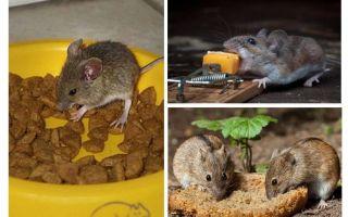 ما الطعم لوضعها في مصيدة فئران