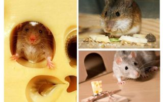 الفئران تأكل الجبن أم لا