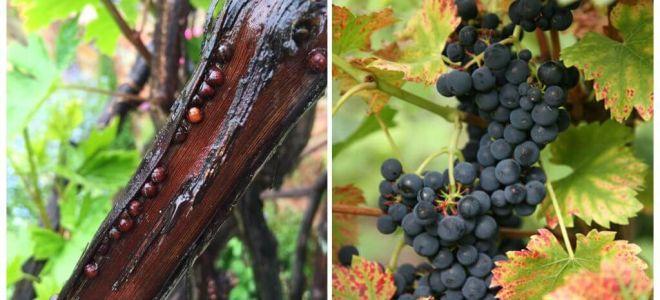 كيف تتخلصين من العنب على العنب؟