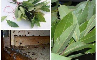 كيفية استخدام أوراق الغار ضد الصراصير