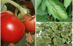 المن على الطماطم - ما يجب معالجته وكيفية القتال
