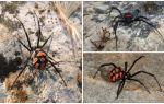 وصف وصور العناكب كازاخستان