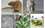 كيفية إزالة الفئران من العلاجات الشعبية الحظيرة