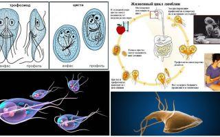 دورة حياة الجيارديا وعلاج الخراجات