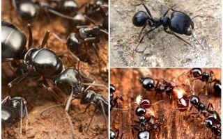 حصادة النمل