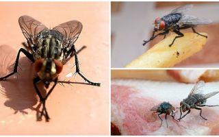 لماذا الذباب فرك الكفوف