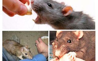 ماذا تفعل إذا كان قليلا الفئران