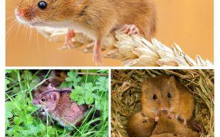 أين تعيش الفئران؟