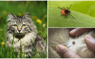 ما يجب القيام به وكيفية علاج القراد في قطة أو قطة