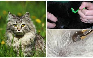 كيفية إزالة القراد من قطة أو قطة