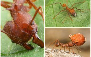النمل عطا