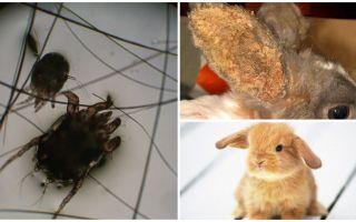 علاج سوس الأذن في الأرانب