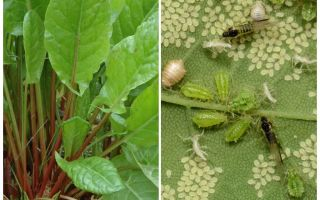 كيف تتخلص من حشرات المن على الحبار