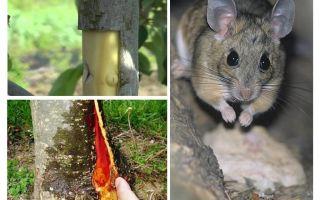 كيفية حفظ شجرة التفاح ، إذا كان النباح يعتقل الفئران