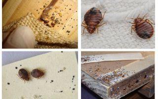 كيف تبدو حشرة الأثاث وكيف تتخلص منها