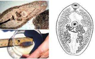 وصف trematodes