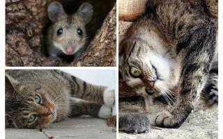 هل القطط والقطط تأكل الفئران؟