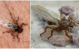 ما هو ذبابة خطرة ذبابة