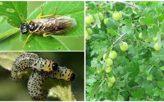 كيفية معالجة gooseberries من اليرقات