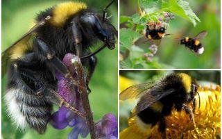 وصف وصور نحلة الحديقة