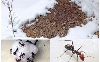 ماذا يفعل النمل في فصل الشتاء