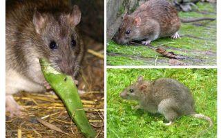 ماذا تبدو الفئران؟