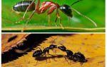 كم تزن النملة