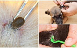 كيفية إزالة القراد من كلب في المنزل