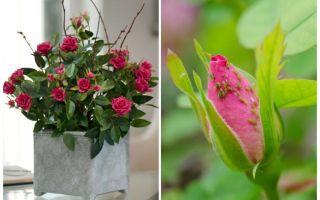 المن على الورود - كيفية التعامل وكيفية التخلص