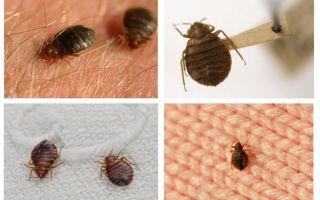 سواء تعيش الحشرات في الوسائد والبطانيات