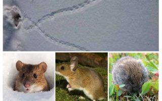 آثار الفئران في الثلج