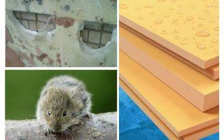 هل أكل الفئران رغوة البوليسترين المبثوق