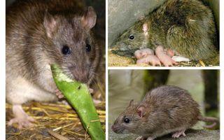 الفئران البرية