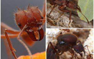 قصاصات النمل
