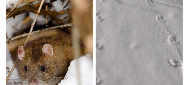 ماذا تبدو مسارات الفئران في الثلج