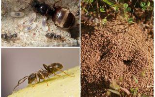 حديقة النمل الأسود