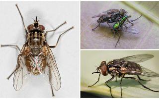 وصف وصورة ذبابة ذبابة zhigalki