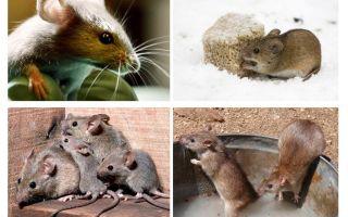 حقائق مثيرة للاهتمام حول الفئران