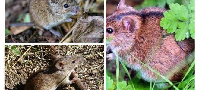 فئران الحقل