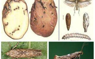 فراشة البطاطا - تدابير مراقبة التخزين