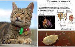 أعراض وعلاج Giardia في القطط