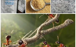 القتال النمل في العلاجات الشعبية حديقة مؤامرة